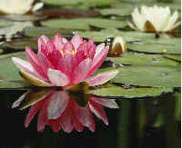 Indian national flowerfacts on india on cuisinecuisine the lotus or the water lily is an aquatic plant with broad floating green leaves and bright fragrant flowers that grow only in shallow waters mightylinksfo